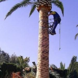 402685-jardineria-y-paisajismo-moises-j-leon-poda-de-palmeras1_image