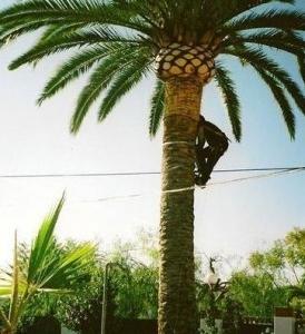 402686-jardineria-y-paisajismo-moises-j-leon-poda-de-palmeras2_image