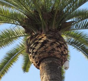 Cortador de palmeras en córdoba