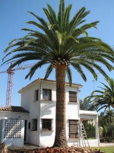 Cuteador de palmeras en córdoba