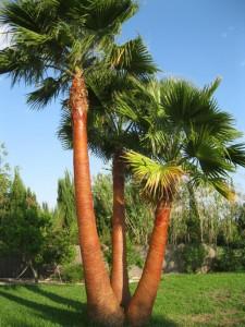 Quitar Hojas de Palmera en Córdoba - Jardinería y Paisajismo Moisés León