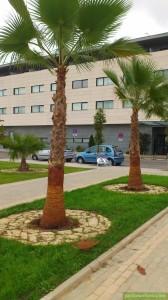 Cuteado de Palmeras en Córdoba -Jardinería y Paisajísmo Moisés León